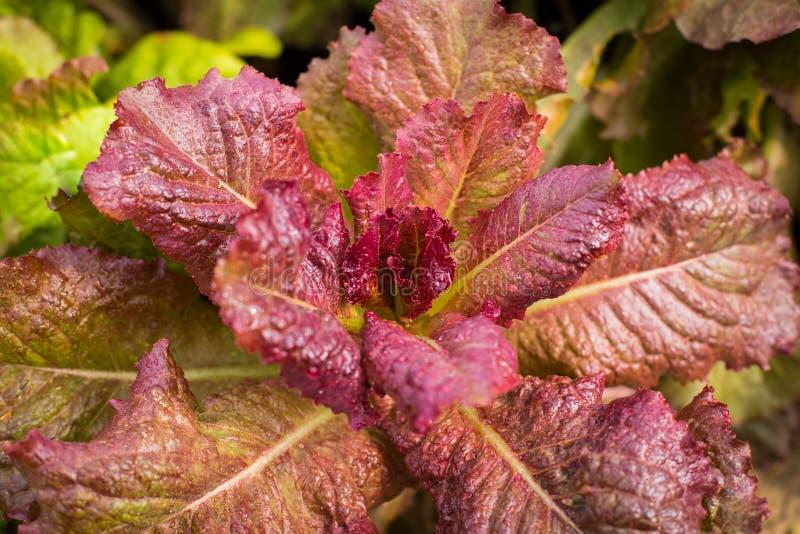 La salade rouge de laitue de feuille se développent dans le potager image libre de droits