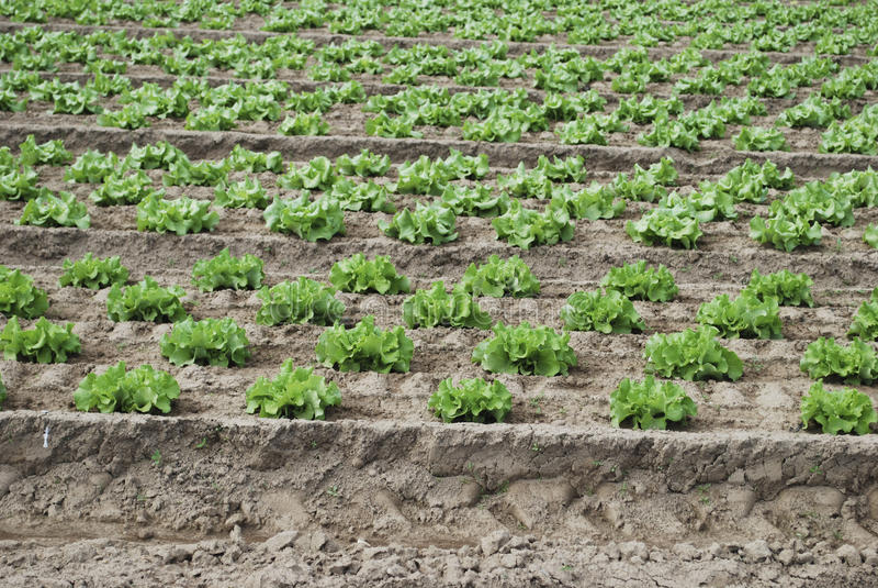 Download La Salade Verte Se Développe Dans Le Domaine Image stock - Image du nourriture, affermage: 76084647