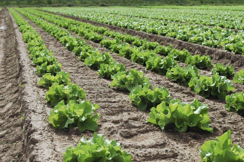 Download La Salade Verte Se Développe Dans Le Domaine Image stock - Image du salade, lame: 76084713