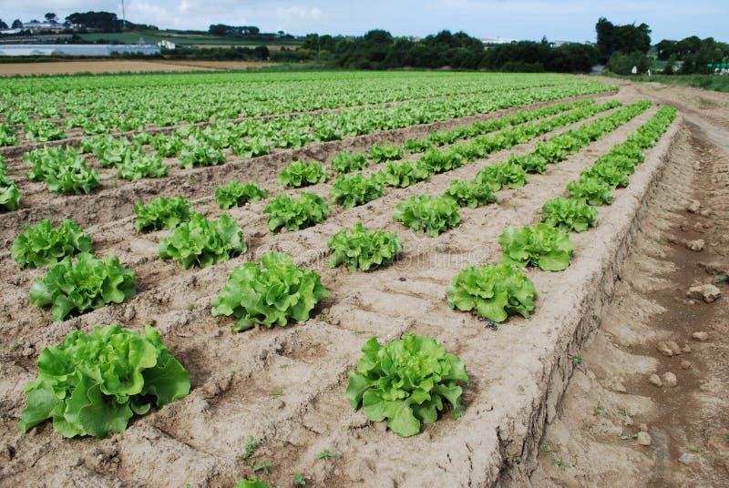 Download La Salade Verte Se Développe Dans Le Domaine Image stock - Image du santé, jardinage: 76084775