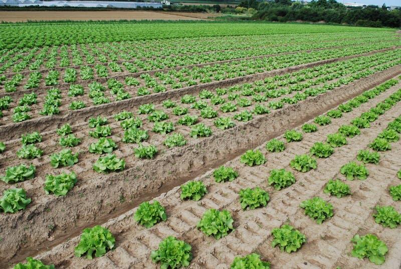 Download La Salade Verte Se Développe Dans Le Domaine Photo stock - Image du affermage, centrale: 76084902