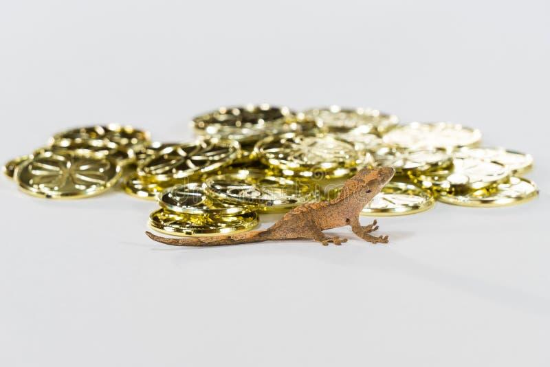 La salamandra con cresta tiene oro foto de archivo libre de regalías