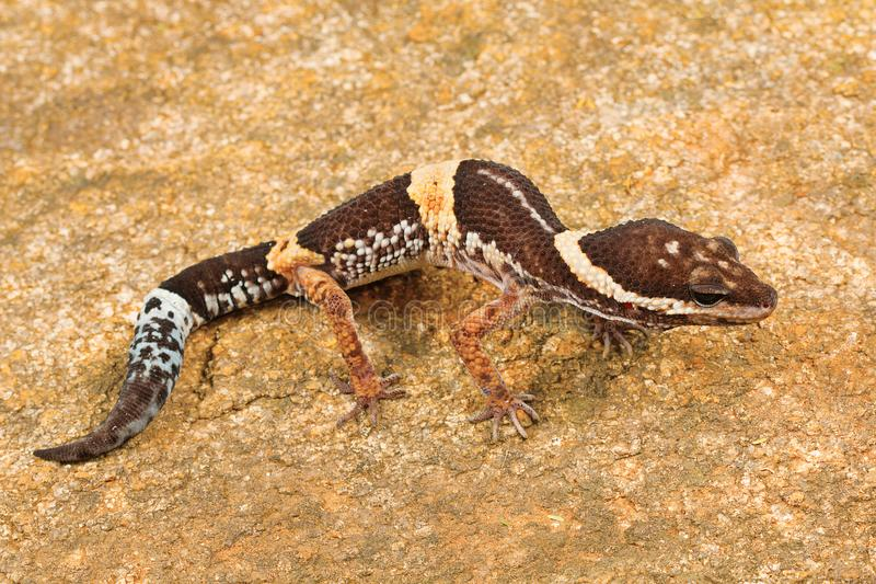 La salamandra del leopardo del indio, hardwickii de Eublepharis Ghats del este foto de archivo libre de regalías