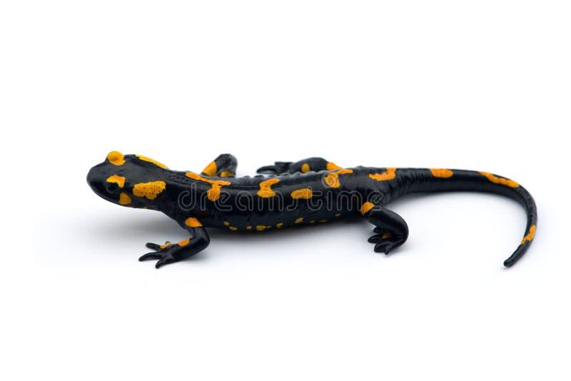 La salamandra di fuoco isolata su fondo bianco fotografie stock libere da diritti