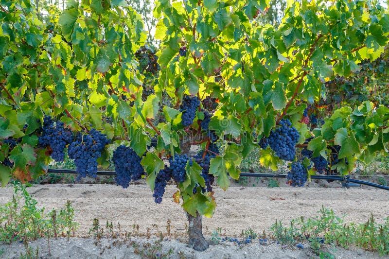 La Sardaigne, Italie - raisins photos libres de droits