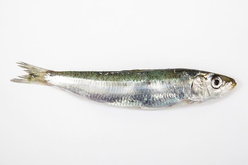 La sardina su fondo bianco immagine stock libera da diritti