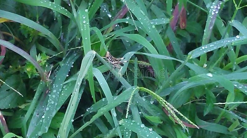 La sauterelle attendant patiemment dans grand, mouillent l'herbe lourde photographie stock