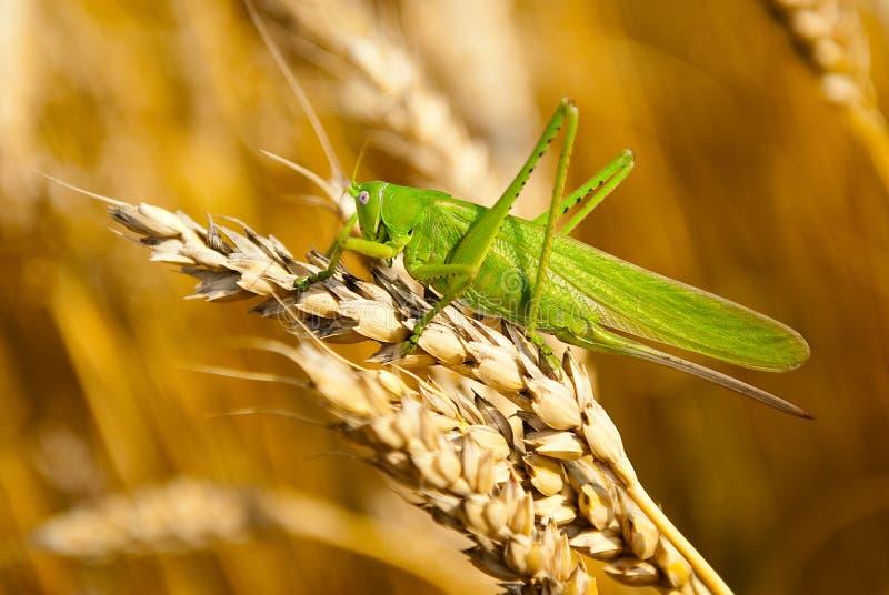 La sauterelle mange la collecte de blé photo libre de droits