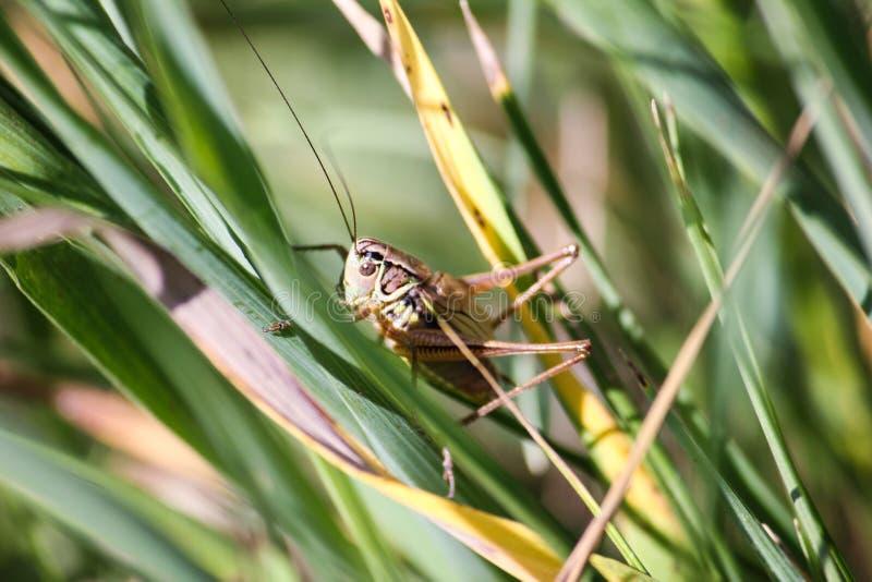 La sauterelle se repose sur une lame d'herbe dessus photos stock