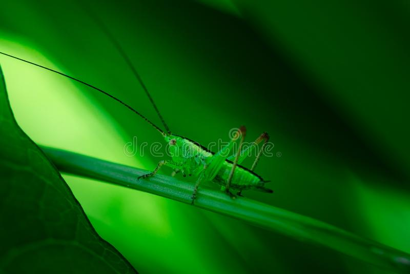 La sauterelle verte se cache sur une feuille, grand Bush-cricket vert, orthoptères, arthropodes photos libres de droits