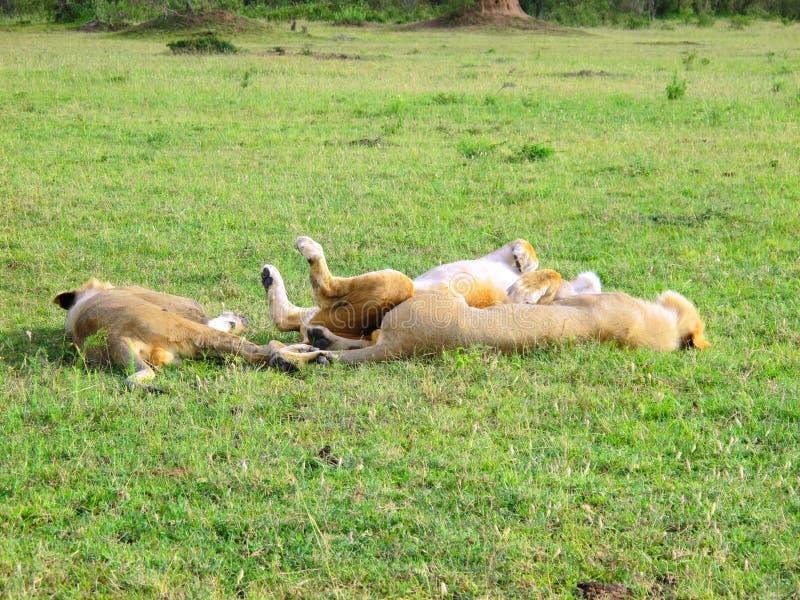 La savane au Kenya Lions de détente photo stock