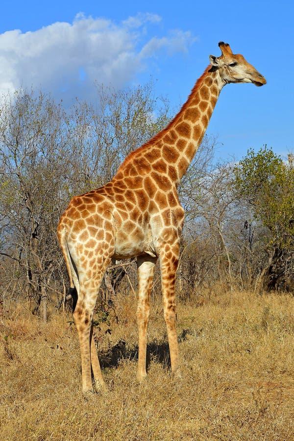 La savane de l'Afrique de girafe photographie stock