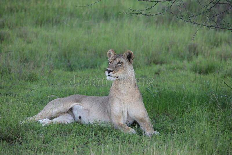 La savane mammifère dangereuse sauvage Kenya de l'Afrique de lion image libre de droits