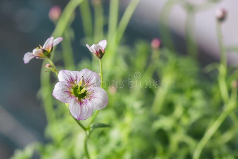 La saxifrage blanche et rose fleurit le macro plan rapproché images libres de droits