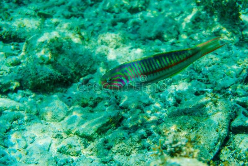 La scène sous-marine avec le récif coralien et les poissons a photographié en eau peu profonde, la Mer Rouge, Egypte photographie stock libre de droits