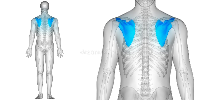 La scapola dell'anatomia di dolori articolari dell'osso del corpo umano disossa la vista posteriore royalty illustrazione gratis
