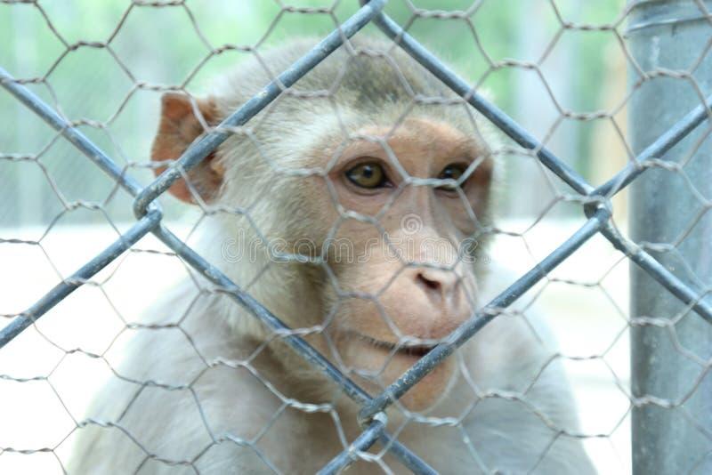 La scimmia è animali sociali abili immagine stock libera da diritti