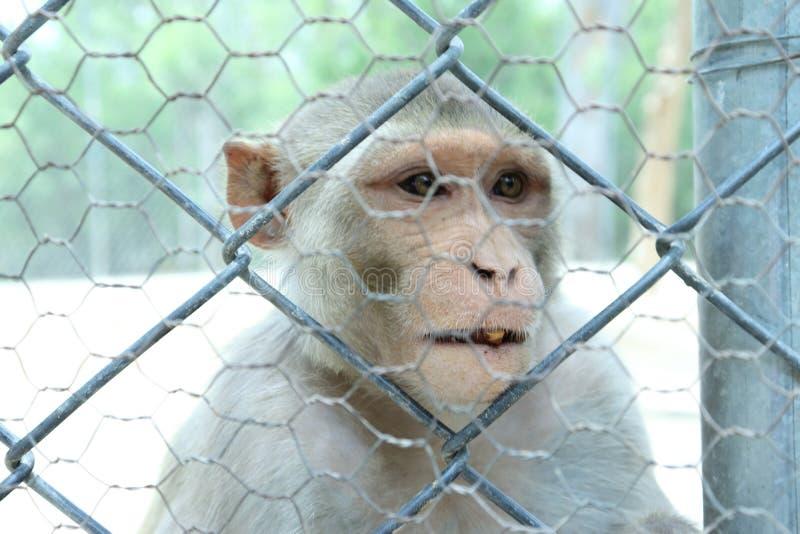 La scimmia è animali sociali abili immagine stock