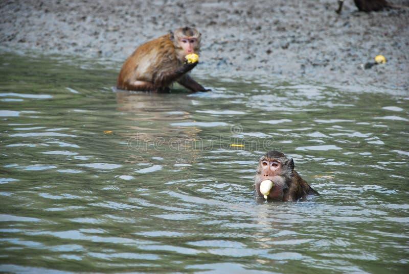 la scimmia è mangia la banana in fiume immagini stock libere da diritti