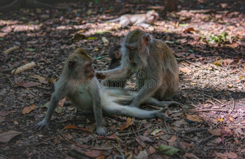 La scimmia adulta governa la scimmia del bambino fotografia stock
