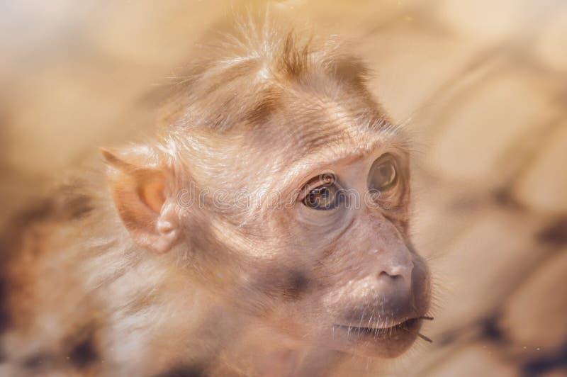 La scimmia con gli occhi d'ardore immagine stock libera da diritti