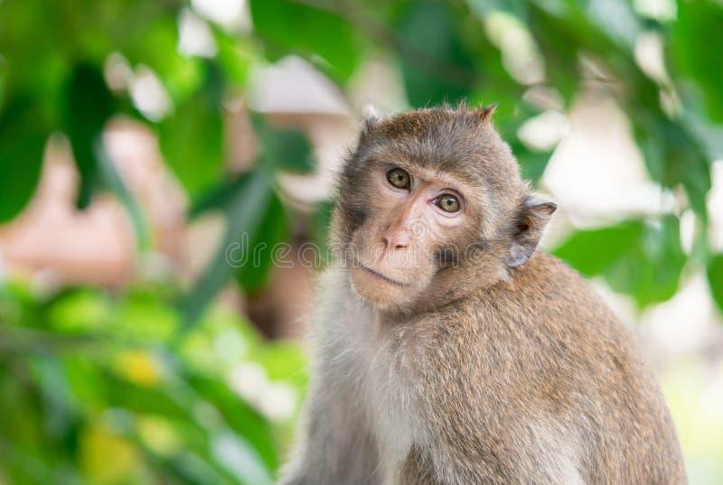 La scimmia di Brown inclinava il suo collo per guardare sospettoso fissa fotografia stock