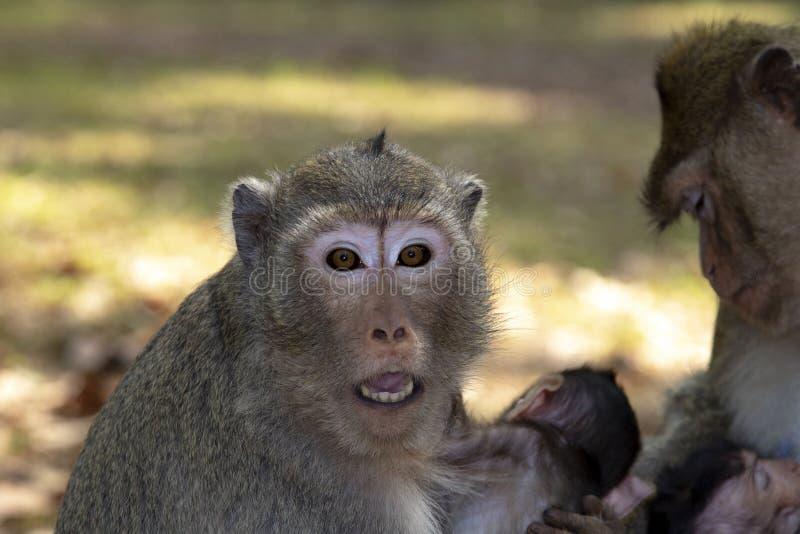La scimmia di macaco della coda lunga abbraccia il suo bambino, sedentesi ed esaminante noi con gli occhi e la bocca spalancata fotografia stock libera da diritti