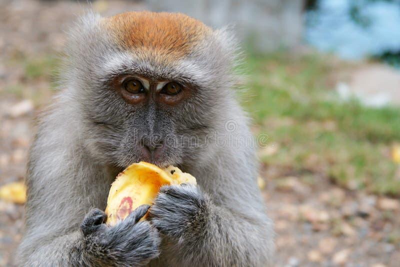 La scimmia mangia la banana fotografia stock