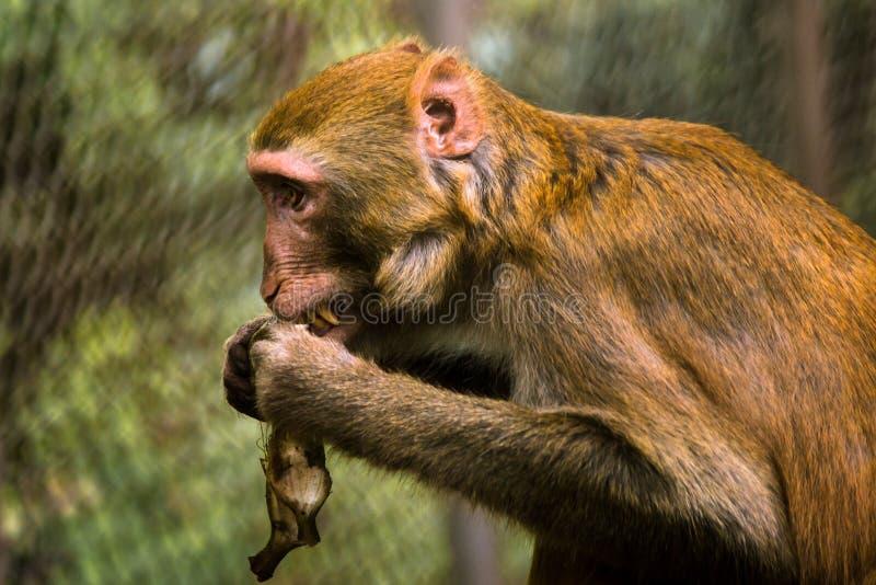 La scimmia mangia la banana immagini stock