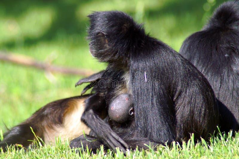 La scimmia nera della mamma allatta al seno il suo bambino fotografia stock libera da diritti