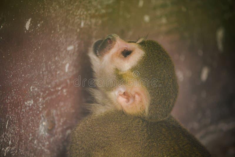 La scimmia scoiattolo ? una piccola scimmia immagini stock libere da diritti