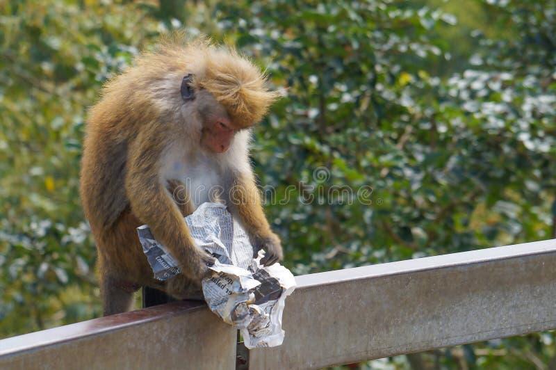 La scimmia sta leggendo il giornale immagine stock