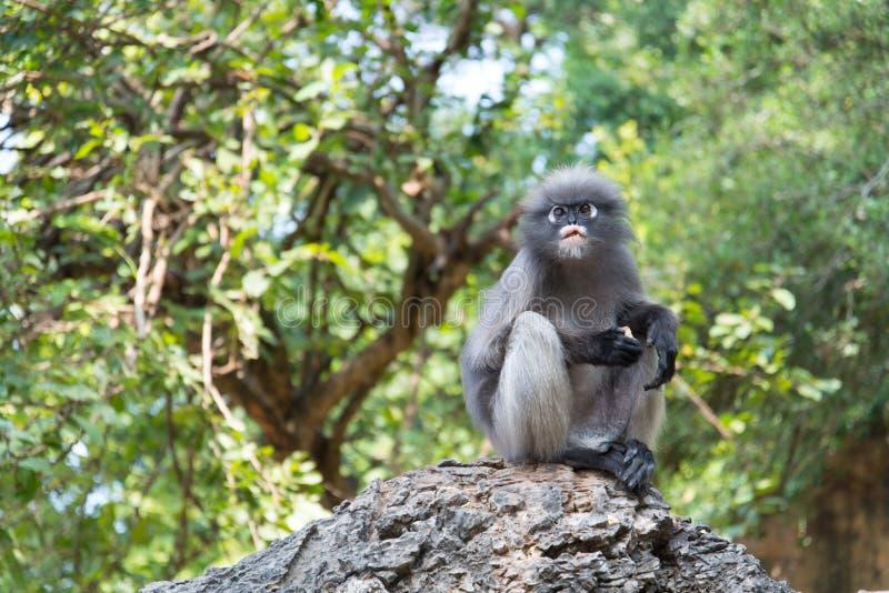La scimmia sta sedendosi sulla roccia fotografia stock libera da diritti