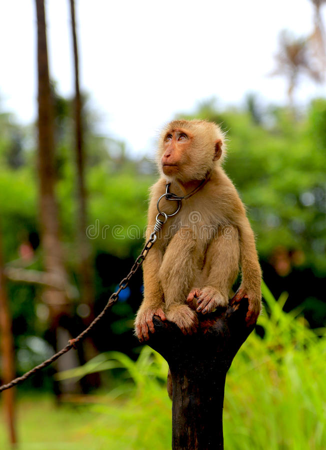 La scimmia a svago in Tailandia fotografia stock libera da diritti