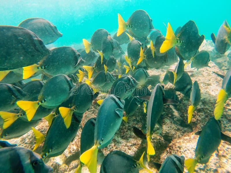 La scuola del surgeonfish Giallo-munito fuori dalla costa di Espanola è fotografie stock libere da diritti