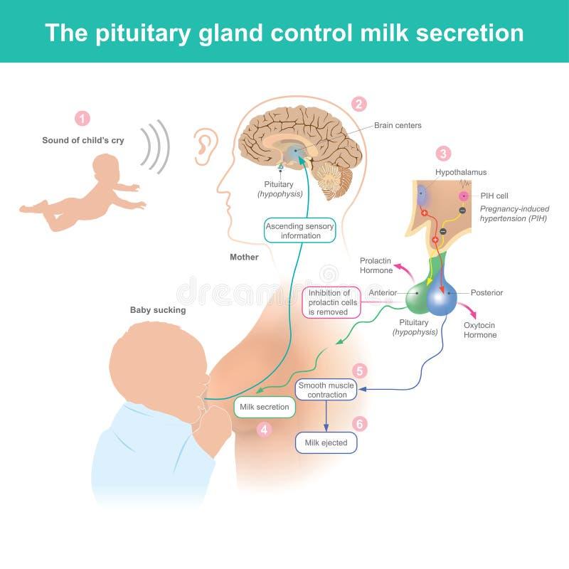 La secreción lácteo del control de la glándula pituitaria stock de ilustración