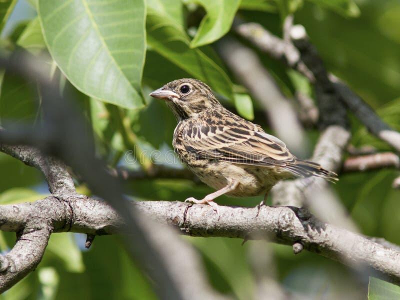 La seduta ortolan dell'uccello giovane in profondità nel cespuglio. immagini stock libere da diritti