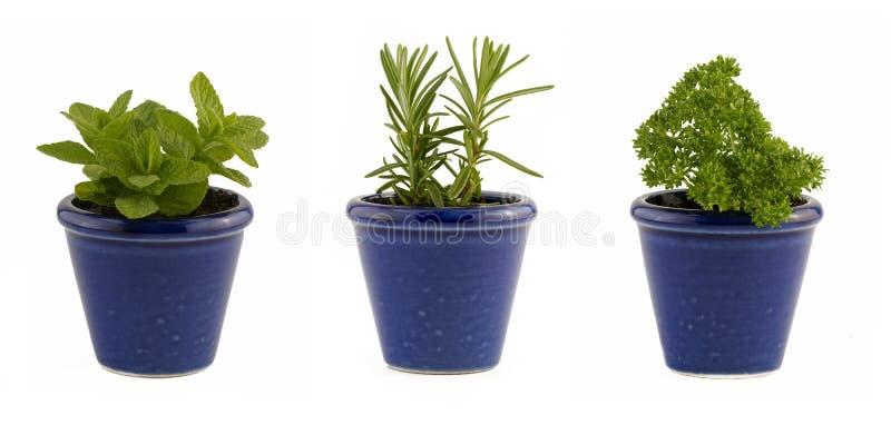 La selección de tres hierbas acuña, romero y perejil en pequeños potes azules fotos de archivo