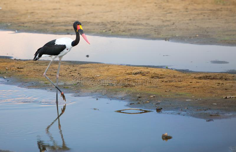 La sella graziosa ha fatturato la cicogna che cammina attraverso il fiume nel parco nazionale del sud di Luangwa, Zambia immagine stock