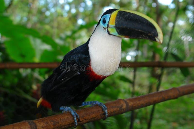 La selva tropical amazónica del ecuadorian toucan fotografía de archivo libre de regalías