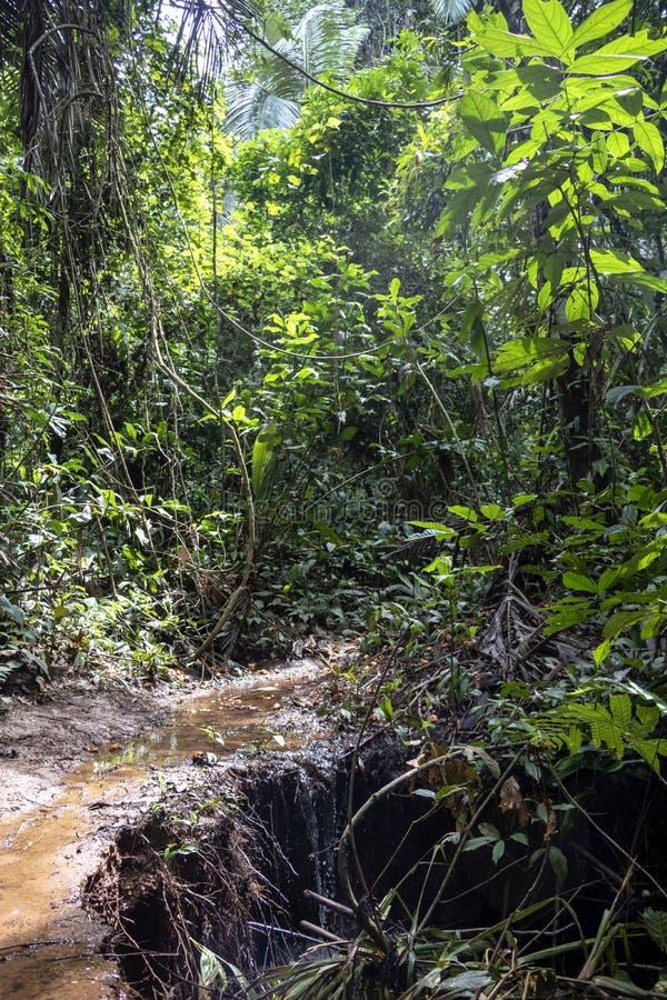 La selva tropical que caminaba la trayectoria inundó con agua de lluvia en el parque nacional de Madidi, Bolivia fotos de archivo