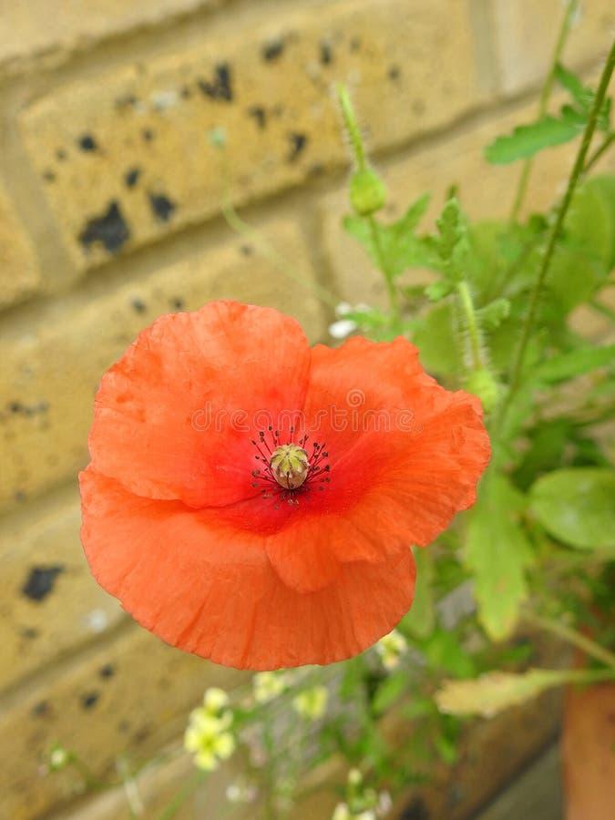 La semilla macra de la vaina de los estambres del primer de las amapolas de la amapola florece la primavera en conserva del veran fotos de archivo libres de regalías