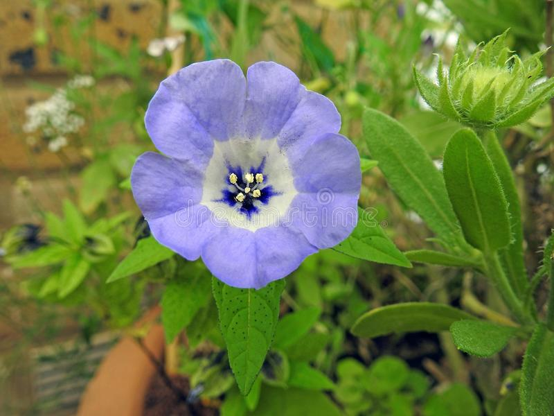 La semilla macra de la vaina de los estambres del primer de las amapolas de la amapola florece la primavera en conserva del veran imágenes de archivo libres de regalías