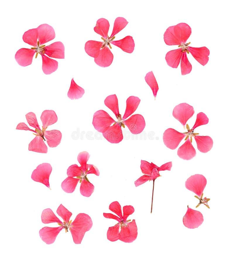 La serie ha asciugato i petali urgenti dei fiori del geranio rosa delicato fotografia stock
