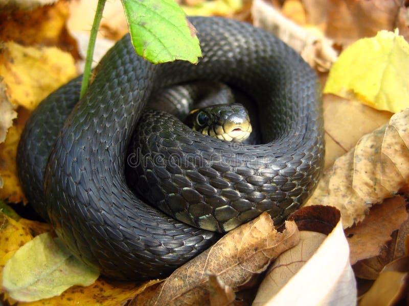 La serpiente arrolló uno en una bola fotos de archivo