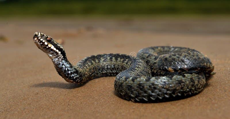 La serpiente europea común o la víbora europea común imagenes de archivo