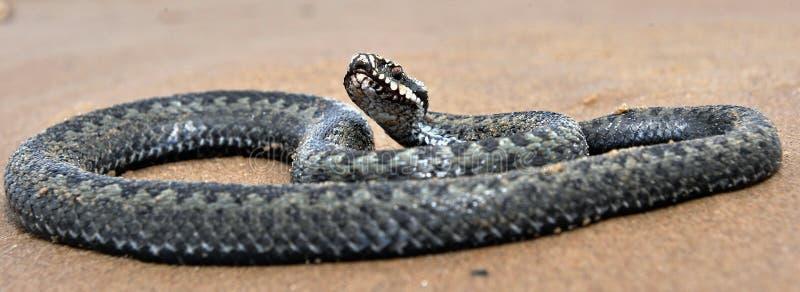 La serpiente europea común o la víbora europea común imagen de archivo libre de regalías