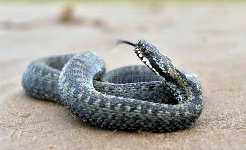 La serpiente europea común o la víbora europea común fotografía de archivo