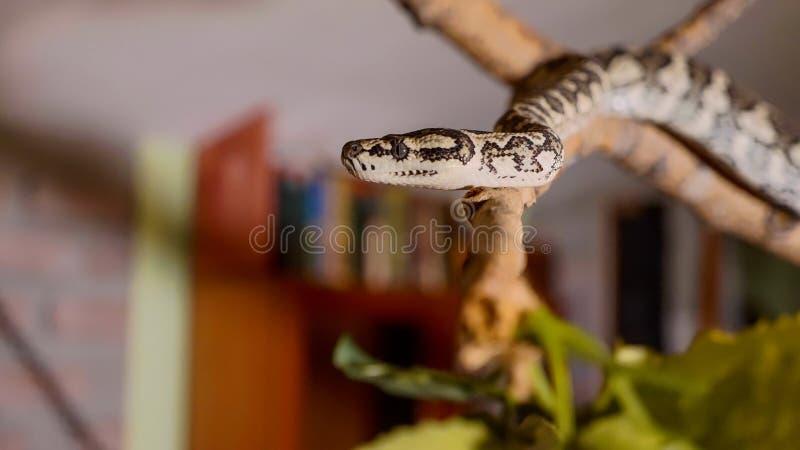 La serpiente se arrastra a lo largo de la rama en casa Reptiles en papel del concepto nacional de los animales domésticos imagen de archivo