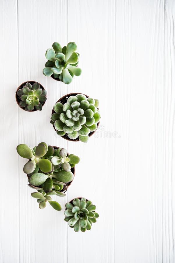 La serra pianta conservato in vaso, backg di legno bianco pulito del succulentson immagini stock